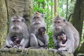 monkey foerst